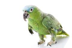 amazon blue naped papegoja Arkivbilder