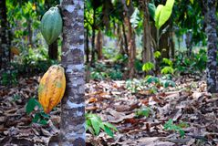 Amazon cocoa. Cocoa cultivated at amazon forest Stock Photography