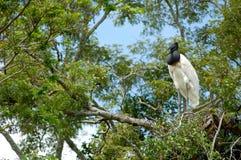 amazon fågelbolivia pampas flod Arkivbilder