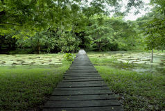 Amazon forest wood bridge. Wood bridge over victoria regia lilys natural Amazon lake Stock Image