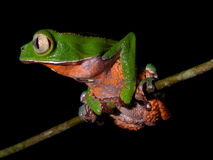 Amazon frog clinging to branch. Colorful tree frog (Phyllomedusa vallanti - white-lined tree frog) with black background, found in the amazon rain forest in royalty free stock photos
