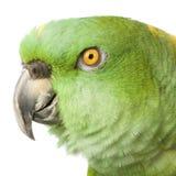 Amazon Giallo-naped fotografia stock libera da diritti