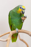 Amazon green parrot eating a nut close up Royalty Free Stock Photo