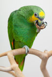Amazon green parrot eating a nut close up. Amazon green parrot eating nut close up Stock Image