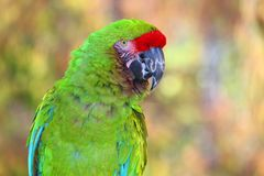 Amazon Green Parrot portrait with blurred background. Wild green parrot portrait bright green, with red band on head and turquoise wing feathers Stock Photos