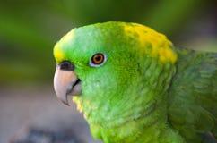 Amazon green parrots. Close up of a green parrots shot in Honduras, roatan Stock Photography