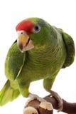 amazon hövdad mexikansk papegojared Royaltyfri Bild