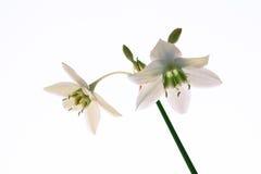 amazon isolerade lilys två Royaltyfria Bilder