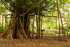 Amazon jungle tree Royalty Free Stock Photo