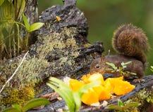 amazon karmienia owoc czerwona wiewiórka Zdjęcie Royalty Free