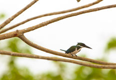 Amazon Kingfisher Royalty Free Stock Image