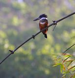 Amazon kingfisher. In Corcovado National Park (Costa Rica Royalty Free Stock Photos