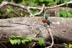 Amazon Kingfisher Royalty Free Stock Images
