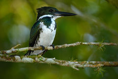 Amazon Kingfisher, Chloroceryle amazona. Green and white kingfisher bird sitting on the branch. Kingfisher in the nature habitat i Stock Photos