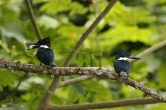 Amazon Kingfisher - Chloroceryle amazona, male and female, sitting on branch in its natural enviroment next to river, green leaves. In background, bird after stock images