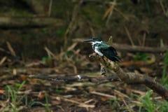 Amazon Kingfisher Royalty Free Stock Photography