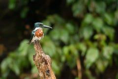 Amazon Kingfisher Stock Images