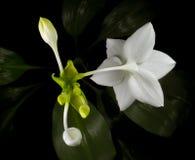 amazon kwitnie leluja trójboka Obraz Stock
