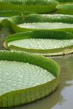 Amazon lily pads in asia stock image