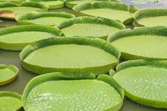 Amazon lily pads in asia Stock Photo