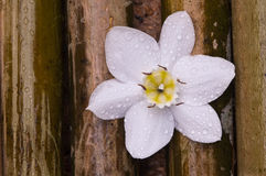 Amazon lily white flower on bamboo wood Royalty Free Stock Image