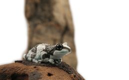 Amazon milk frog Stock Images