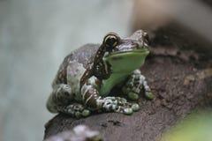 Amazon Milk Frog Stock Image