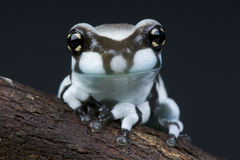 Amazon milk frog. The Amazon milk frog, Trachycephalus resinifictrix, is a large tree frog species from the tropical rain forests of South America Stock Image