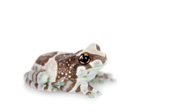 Amazon Milk Frog isolated on white Stock Photography