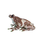 Amazon Milk Frog isolated on white Stock Photos