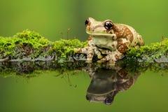 Amazon milk frog Stock Photos