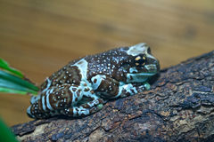 Amazon milk frog Royalty Free Stock Photos