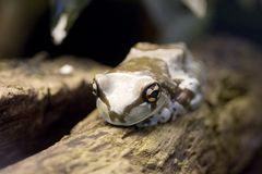 Amazon Milk Frog - Phrynohyas resinifictrix Stock Photography