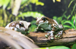 Amazon Milk Frog Royalty Free Stock Images
