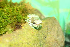 Amazon milk frog Royalty Free Stock Image