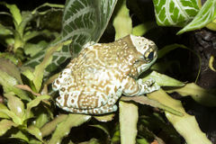 Amazon Milk Frog, Phrynohyas resinifictrix, sitting on a leaf bromelie Royalty Free Stock Image