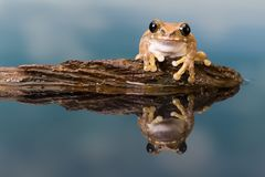 Amazon milk frog reflected in water Royalty Free Stock Images