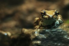 An Amazon Milk Frog Sitting on a Rock Stock Image