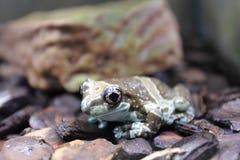 Amazon milk frog Royalty Free Stock Photo