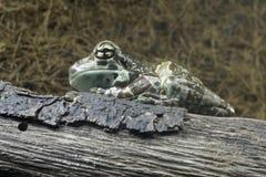 Amazon Milk Frog royalty free stock photos
