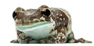 Amazon Milk Frog, Trachycephalus resinifictrix Royalty Free Stock Image