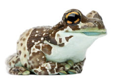 Amazon Milk Frog, Trachycephalus resinifictrix Stock Photo