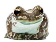 Amazon Milk Frog, Trachycephalus resinifictrix Royalty Free Stock Photo