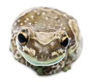 Amazon Milk Frog, Trachycephalus resinifictrix Royalty Free Stock Image
