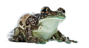 Amazon Milk Frog, Trachycephalus resinifictrix Stock Images