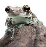 Amazon Milk Frog - Trachycephalus resinifictrix Royalty Free Stock Images