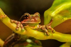 Amazon Milk Frog Trachycephalus resinifictrix royalty free stock image