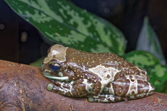 Amazon milk frog Stock Photos