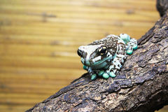 Amazon milk frog Royalty Free Stock Photography