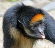 Amazon monkey Royalty Free Stock Images